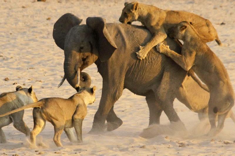 Video: Cría de elefante sobrevive a ataque de manada de leonas