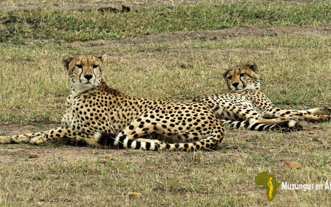 Guepardos en Masái Mara
