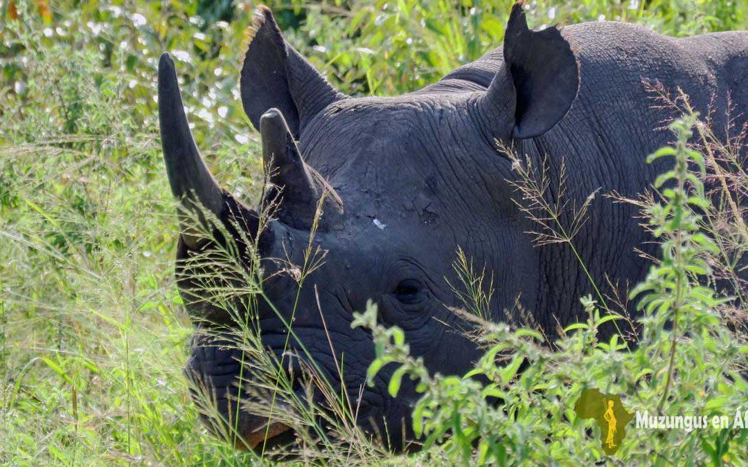Rinoceronte negro en Masái Mara