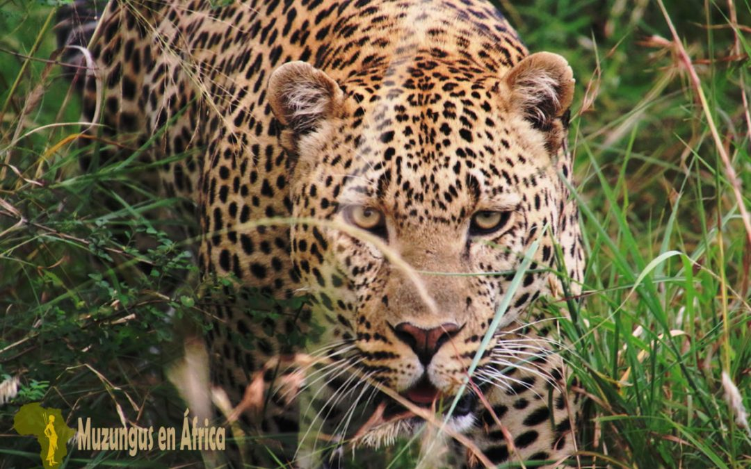 Leopardo en Masái Mara