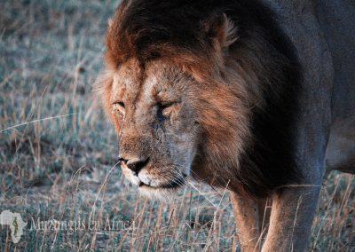 León | Reserva Natural de Masai Mara, Kenia (04 de agosto de 2014) | © Loreto Paredes.