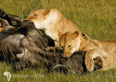 Leonas matando un búfalo | Reserva Natural de Masai Mara, Kenia (15 de junio de 2016) | © Juan Pablo Guevara.