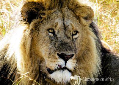 León   Reserva Natural de Masai Mara, Kenia (10 de agosto de 2013)   © Juan Pablo Guevara.