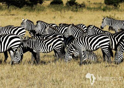 Grupo de cebras comunes   Reserva Natural de Masai Mara, Kenia (10 de agosto de 2013)   © Juan Pablo Guevara.