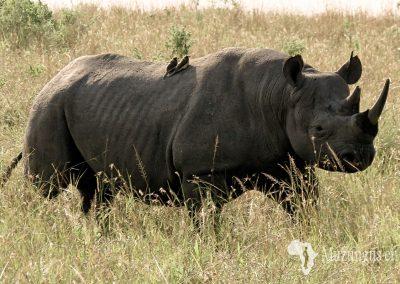 Rinoceronte negro | Reserva Natural de Masai Mara, Kenia (19 de junio de 2016) | © Juan Pablo Guevara.