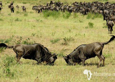 Pelea de ñus   Reserva Natural de Masai Mara, Kenia (20 de junio de 2016)   © Juan Pablo Guevara