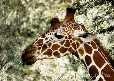 Jirafa somalí (Jirafa reticulada)   Reserva Natural de Samburu, Kenia (06 de agosto de 2013)   © Juan Pablo Guevara