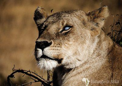 Silver eye (Ojo de plata)   Reserva Natural de Masai Mara, Kenia (11 de agosto de 2013)   © Juan Pablo Guevara