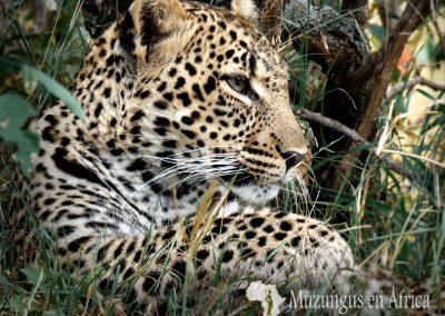 Cachorro de leopardo   Reserva Natural de Masai Mara, Kenia (18 de junio de 2016)   © Juan-Pablo Guevara