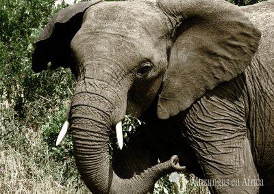 Elefante   Reserva Natural de Masai Mara, Kenia (27 de julio de 2014)   © Juan-Pablo Guevara