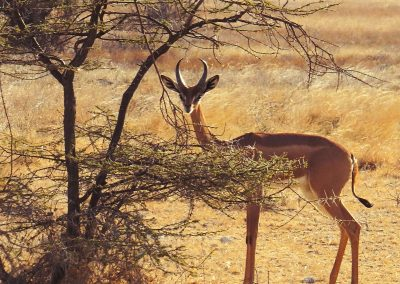 Gerenuk (Gacela jirafa o Gacela de Waller)   Reserva Natural de Samburu, Kenia (05 de agosto de 2013)   © Juan-Pablo Guevara