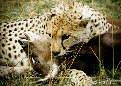 Guepardo y cría de cobo de agua | Reserva Natural de Masai Mara, Kenia (26 de julio de 2014) | © Juan-Pablo Guevara