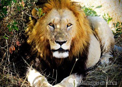 León   Reserva Natural de Masai Mara, Kenia (10 de agosto de 2013)   © Juan-Pablo Guevara
