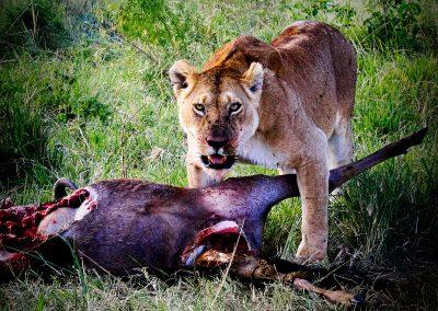 Leona y ñú | Reserva Natural de Masai Mara, Kenia (19 de junio de 2016) | © Loreto Paredes Castro