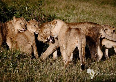 Leones   Reserva Natural de Masai Mara, Kenia (29 de julio de 2014)   © Loreto Paredes Castro