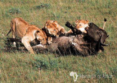 Leones y búfalo   Reserva Natural de Masai Mara, Kenia (17 de junio de 2016)   © Juan-Pablo Guevara