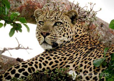 Leopardo macho | Reserva Natural de Masai Mara, Kenia (20 de junio de 2016) | © Juan-Pablo Guevara