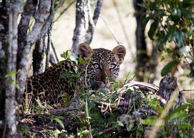 Cachorro de leopardo (Leopard cub)   Reserva Natural de Masái Mara, Kenia (02 de agosto de 2014)   © Loreto Paredes Castro