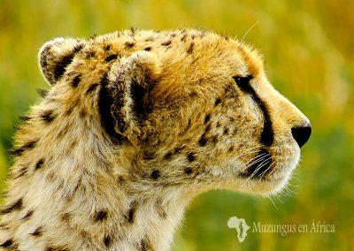 Guepardo (Cheetah) (Acinonyx jubatus)   Maasai Mara National Reserve, Kenya (26 de julio de 2014)   © Juan-Pablo Guevara