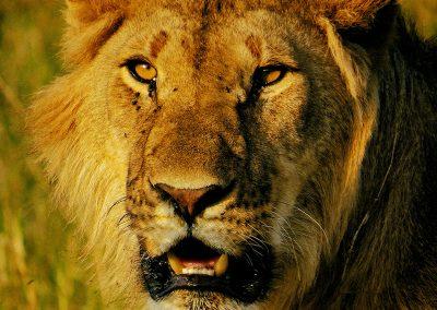 León macho joven (Young male lion)   Reserva Natural de Masái Mara, Kenia (29 de julio de 2014)   © Juan-Pablo Guevara