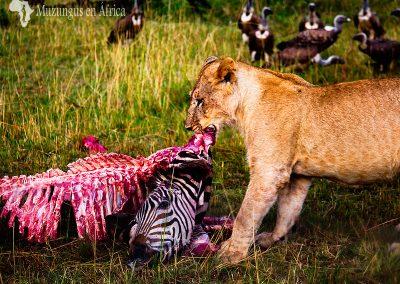 Leona y cebra (Lioness and zebra)   Reserva Natural de Masái Mara, Kenia (27 de julio de 2014)   © Loreto Paredes Castro