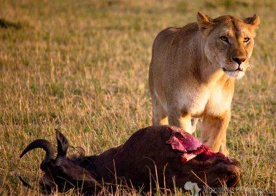 Leona y ñu (Lioness and wildebeest)   Reserva Natural de Masái Mara, Kenia (31 de julio de 2014)   © Loreto Paredes Castro