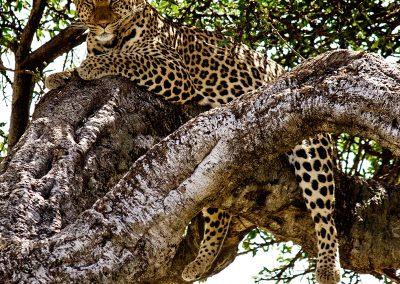Leopardo (Panthera pardus)   Reserva Natural de Masái Mara, Kenia (31 de julio de 2014)   © Loreto Paredes Castro