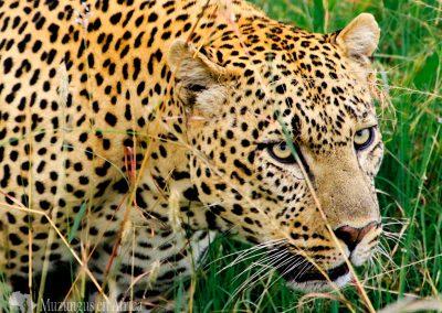 Leopardo macho   Reserva Natural de Masái Mara, Kenia (20 de junio de 2016)   © Loreto Paredes Castro